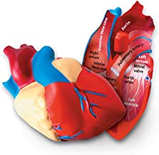 Learning Resources Cross-Section Human Heart Model, Large Foam Classroom Demonstration Model, 2Piece, Grades 2+, Ages 7+