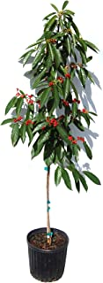 Carolina Buckthorn Tree - Heavy - Established Roots - 2 Gallon Potted - 1 Plant by Growers Solution