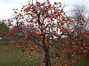 Persimmon Tree – Diospyros virginiana – Healthy Established Roots - One Trade Gallon - 1 Plant by Growers Solution