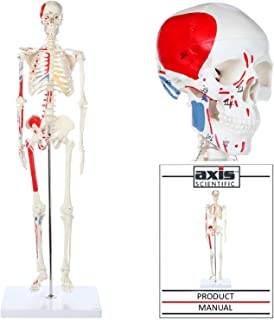 Best detailed skeleton model Reviews
