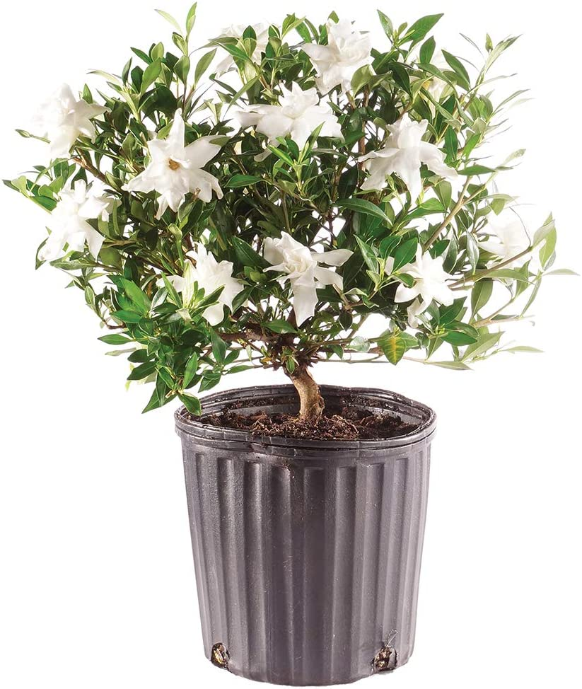 Brussel's Bonsai Live Gardenia Ranking TOP4 Outdoor 4 Limited time for free shipping Old Years Tree -