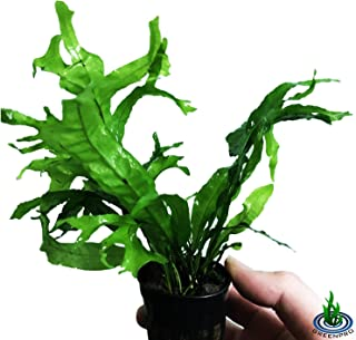Greenpro Java Fern Thor's Hammer | Microsorum Pteropus Live Aquarium Plants Decoration Rare Exotic Leaf