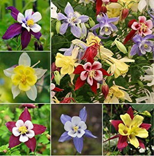 Columbine Aquilegia Mix (Granny's Bonnet) Seeds Flowers for Planting Non GMO 100 Seeds