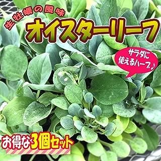 オイスターリーフ【葉を食べると生牡蠣のようなゴージャスな風味の最新高級葉野菜!】【9cmポット/お得な3個セット 年中植付け可能!即出荷!】【プライム送料込価格】