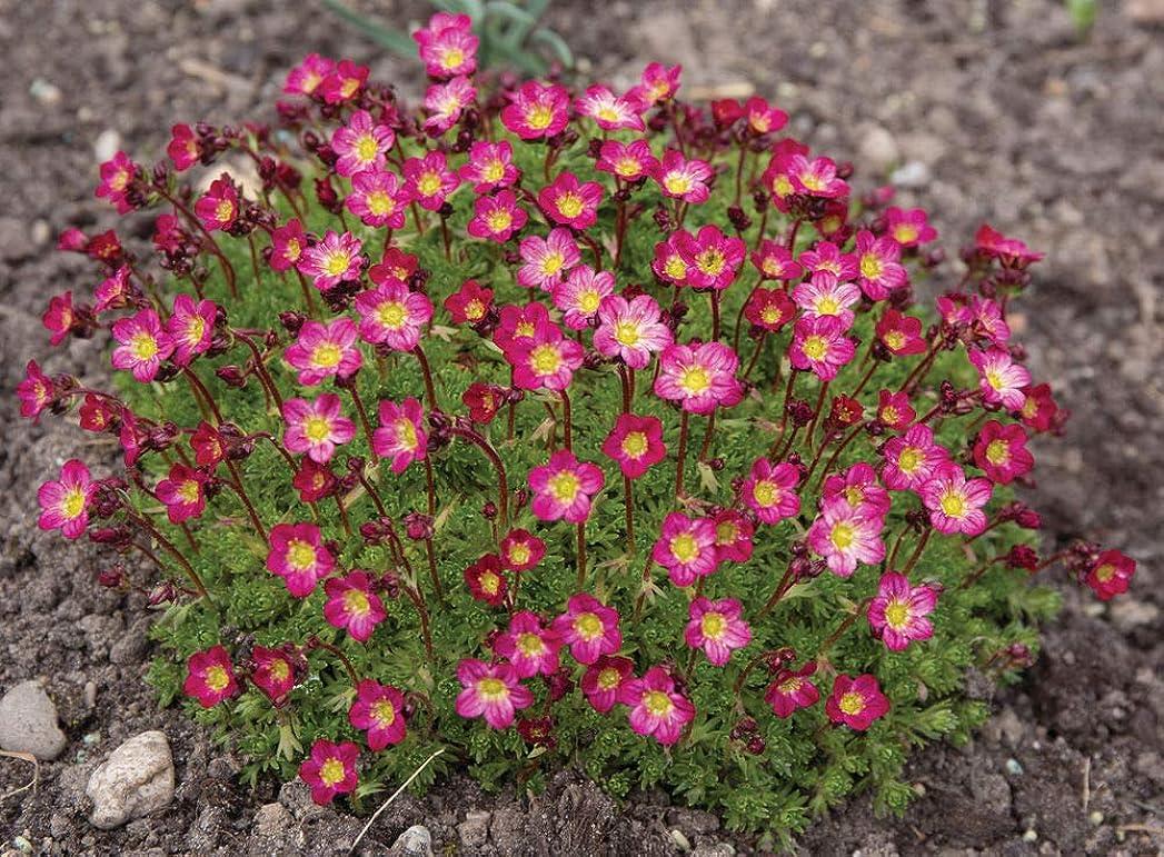 スリルマリナー摘む妖精の種ユキノシタ - 成長することArendsiiレッドX 50個の種子簡単かつ高速