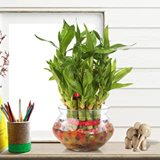 Nurturing Green Lucky Bamboo Two Layer Round Glass Pot