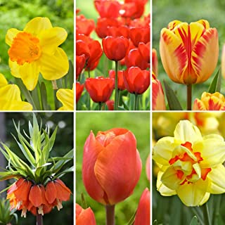 Red & Yellow Starter Spring Garden Collection | 53 Assorted Flower Bulbs | Plant in Fall - Blooms in Spring | from Longfield Gardens