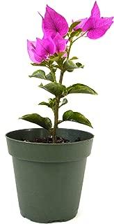 Best buganvilias plants for sale Reviews