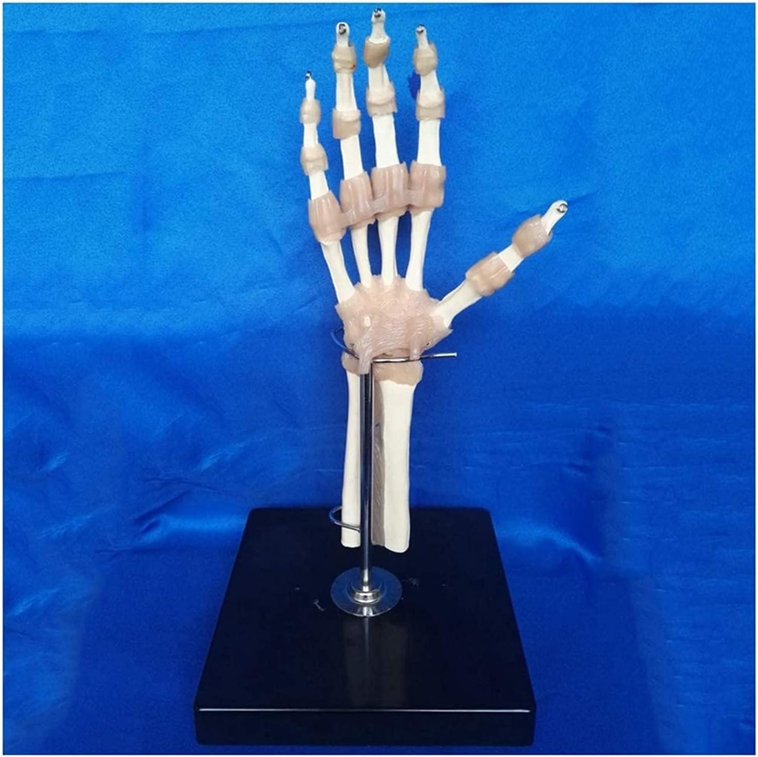 Hand Joint Skeleton Seasonal Wrap Introduction Mode Human Nashville-Davidson Mall Anatomical with Model