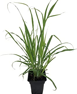 Ohio Grown Lemon Grass Plant - Cymbopogon - Also Repels Mosquitos - 4