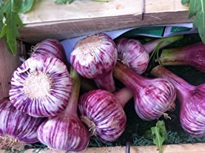 Russian Red, Garlic For planting (3 Large Heirloom Bulbs) Untreated,Organic!