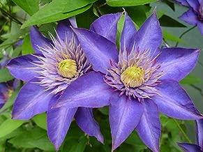 Best multi blue double flowering clematis Reviews