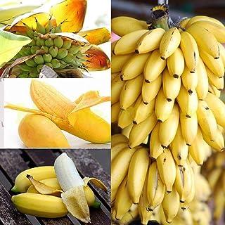 Kisshes Seeds- Nuevas plantas raras del árbol de plátano enano Mini plantas bonsai del jardín casero exótico de la fruta (100PCS / paquete, Plátano)