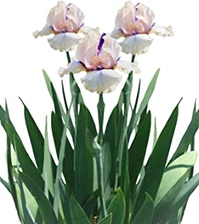 Reblooming Bearded Iris Concertina Early Season Blooming - 1 Large Rhizome - Blooms Twice in One Year | Ships from Easy to Grow TM