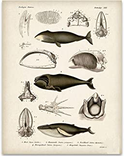 Whale Anatomy - 11x14 Unframed Art Print - Great Gift Under $15 for Biologists or Nature Lovers