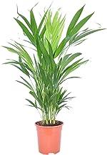 Dypsis lutescens | Areca-palm | Luchtzuiverende kamerplant | Hoogte 45-55 cm | Pot- Ø12cm