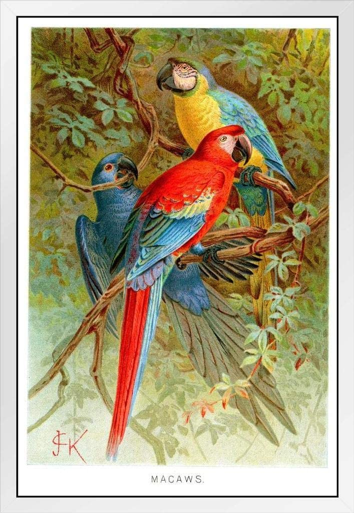 Scarlet Blue Gold Macaws Tropical Illustration Minneapolis Mall Bluebird Vintage excellence