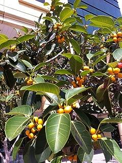 Ficus altissima - 120 Seeds