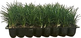 Mondo Grass - 10 Live Plants - Ophiopogon Japonicus - Shade Loving Evergreen Groundcover