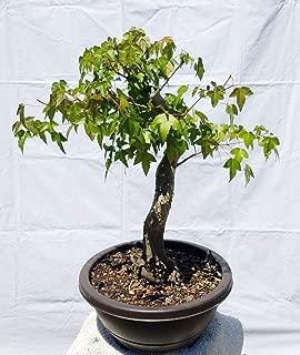 Hot Sale! Japanese Trident Maple Bonsai Tree