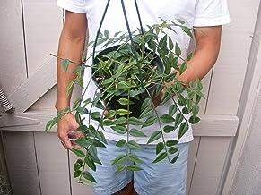 tr/ès Rare Seed FERRY Graines Bio ne Pas Plantes: Hoya imbricata Excellente Terrarium