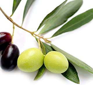 US Warehouse, Live Plant (Not Seed Or Bulb), Leccino - Olea Europaea Olive Tree Live Plant Food Garden Drought Tolerant