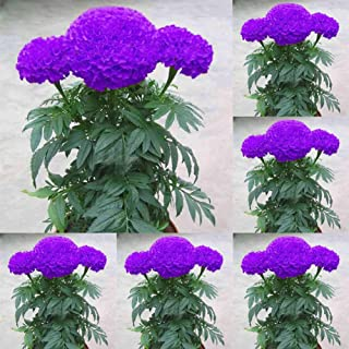 LOadSEcr's Garden 100Pcs Purple Marigold Seeds Non-GMO Ornamental Plants Yard Office Decoration, Open Pollinated Seeds