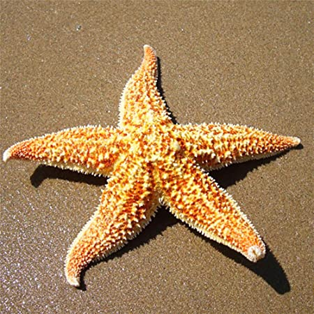 Lot de 2 étoiles de mer séchées naturelles - Étoile de mer séchée - Décoration de fête de mariage ou de maison - Étoile de mer naturelle - Cadeau, 1 couleur, 2pcs