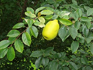 HOT - Pseudocydonia sinensis Chinese Quince Tree Seeds