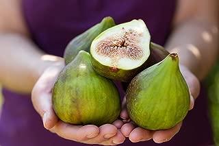 10 CUTTINGS DESERT KING FIG TREE, HARDY TREE, SUPER SWEET FRUIT, FAST GROWING