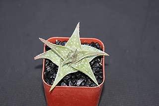 Aloe Cv Blue Mist Hybrid Color Outdoor Succulent Plant Cacti 2 Inch Pot ecc03