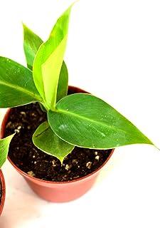 """9GreenBox - Truly Tiny - Tiny Musa Banana Tree - 4"""" Pot - Great Fruit"""
