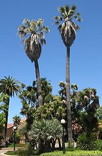 Best california fan palm seeds Reviews