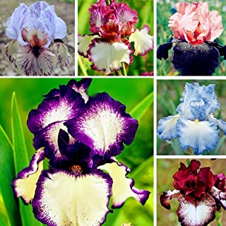 Rare 50pcs Iris Germanica Bearded Iris Exotic, Hardy Perennial Flower Seeds for Garden & Balcony & Terrace