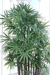 LADY PALM (Rhapis excelsa) 10 seeds