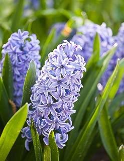 Hyacinthus Sky Jacket - Hyacinth Sky Jacket - 3 Bulbs -
