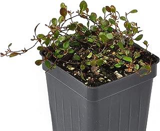 Muehlenbeckia axillaris Mini-Leaf, Compact, Fairy Vine
