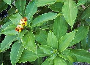 spiral flag plant