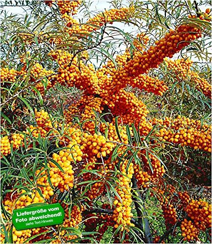 BALDUR Garten Sanddorn Busch 'Orange Energy®' weiblich, 1 Pflanze Hippophae rhamnoides