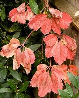 10 Boston Ivy Parthenocissus Tricuspidata Veitchii Vine Seeds