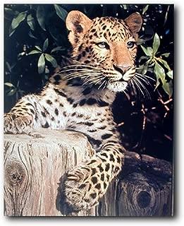 Leopard (Panther, Jaguar, Big Cat) Wild Animal Wall Decor Art Print Poster (16x20)