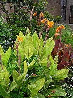 3 Canna Bengal Tiger Canna Bulbs Elegant Tropical Flowers Attracts Butterflies Yard Garden Beds Decor