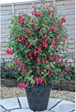 ADB Inc DD Hardy Fuchsia 'Pink Fizz' Shrub Climbing Flower Seeds