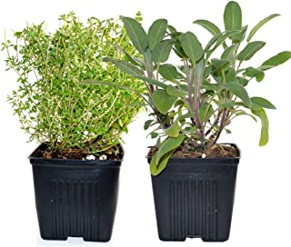 Live Sage and Thyme Plant - Set of 2 Hardy Herb Plants Grown Organic Non-GMO USA Great Container Herbs Shipped Potted