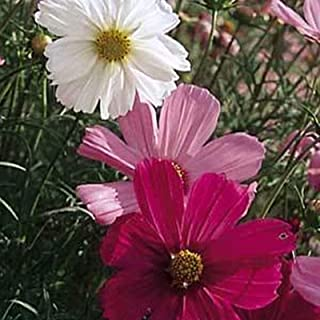 Cosmos Sensation Mix (Great) - 1,500 MG ~225 ct - Annual Flower Gardening