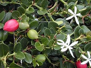 Carissa grandiflora Natal Plum - Fragrant Flowers - Seeds!