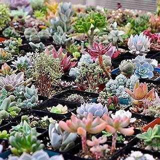 GMNP0di% Succulents Seeds, Mixed Succulent Seeds Lithops Rare Living Stones Plant Bonsai Home Decor - Bonsai Plant Seeds Cacti & Succulents