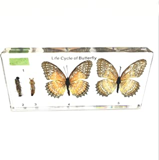 Lifecycle of a Butterfly Paperweights Science Classroom Specimens for Science Education