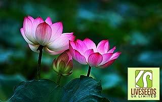 lotus water lily bonsai