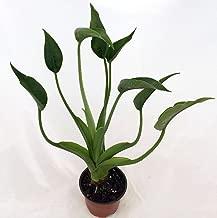 ALOCASIA - TINY DANCERS - STARTERS - 1 PLANT